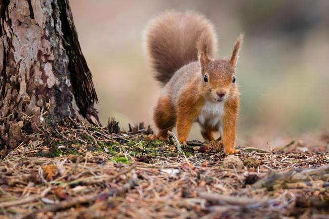 The 'strongholds' are the best places to see red squirrels in Scotland