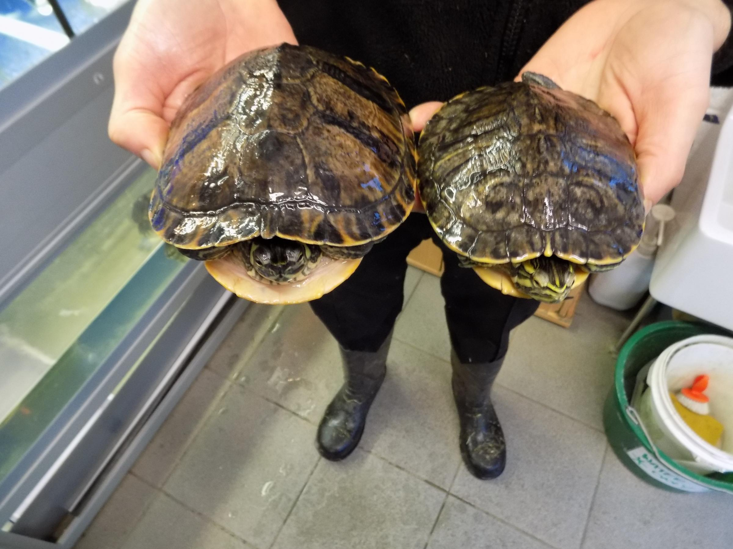 Turtles left abandoned in a plastic bag